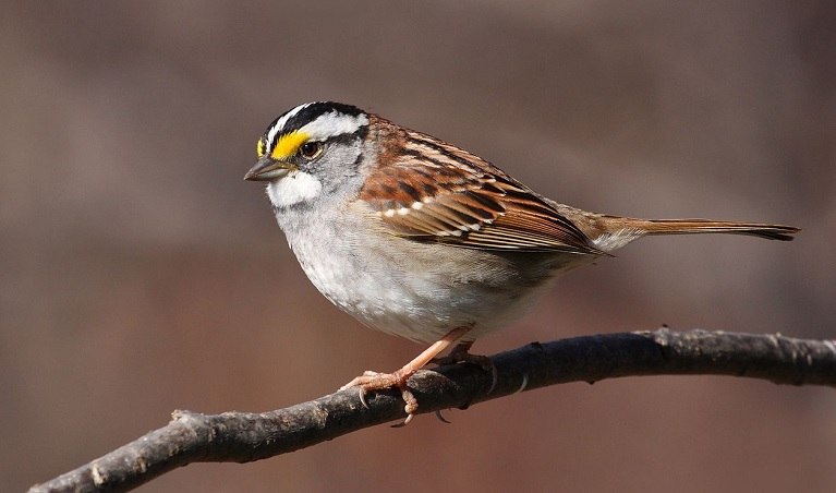 White throated sparrows like this were studied for the effects of a common neonicotinoid insecticide which could end up in their diet of seeds (Wiki commons- Cephas)