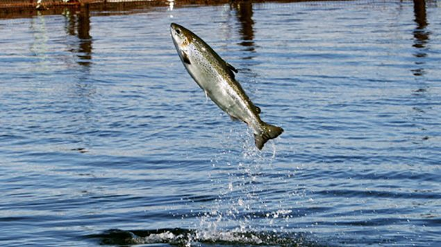 Group sounds warning on fate of Atlantic Salmon