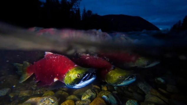 BC salmon continue to face life-and-death challenges