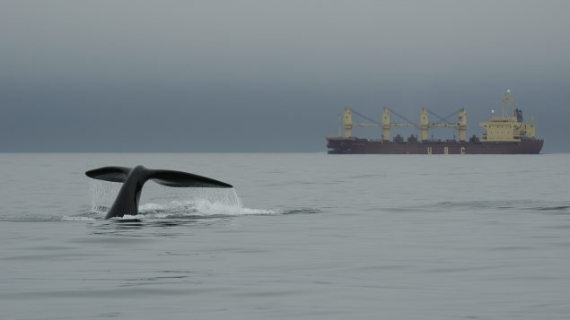 Threats to whales: Slow speeds or small ships still deadly-study
