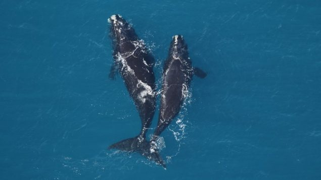 Right whales face extinction unless governments act, says charity