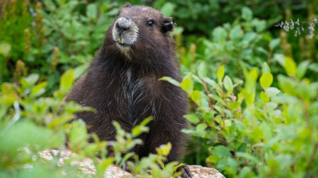 Marmots make a comeback on Vancouver Island
