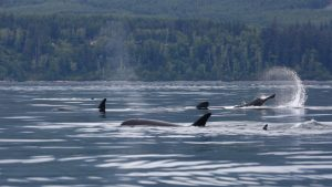 News of what orcas eat supports conservation efforts