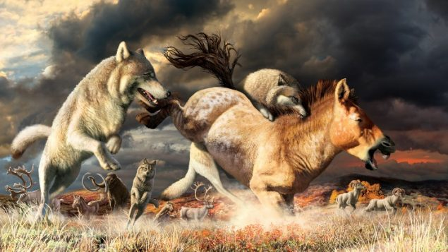 A change in diet helped wolves evade extinction