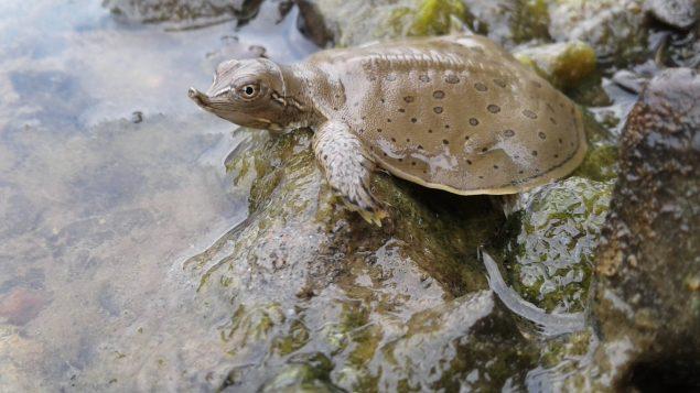 Conservancy acquires special turtle habitat