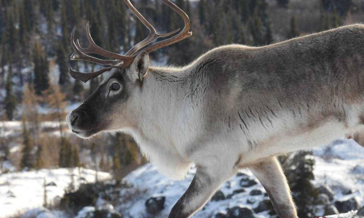 George River caribou survey shows slight uptick in eastern Canada but hunting ban remains in place