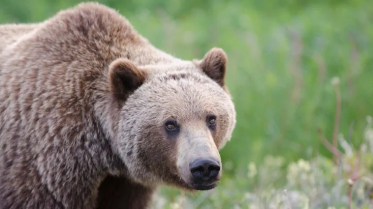 Yukon advocates want moratorium on grizzly bear hunting in Canada