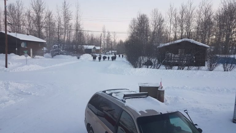 'They shouldn't be in the community': Fort Liard resident sounds alarm over bison herds