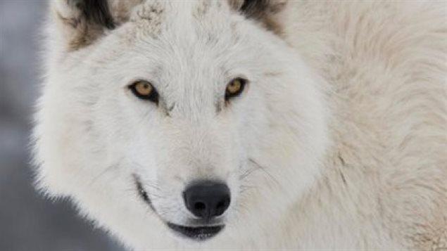 Lobo canadiense, estrella en la serie Juego de Tronos