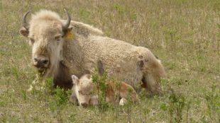 160517_510q8_bison-blanc_sn635
