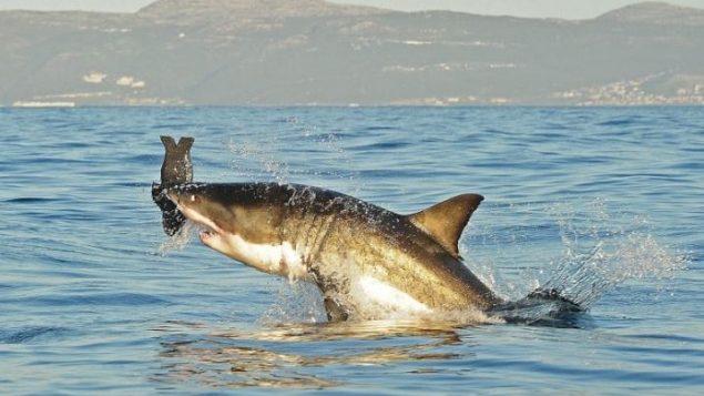 Descodifican el genoma completo del tiburón blanco