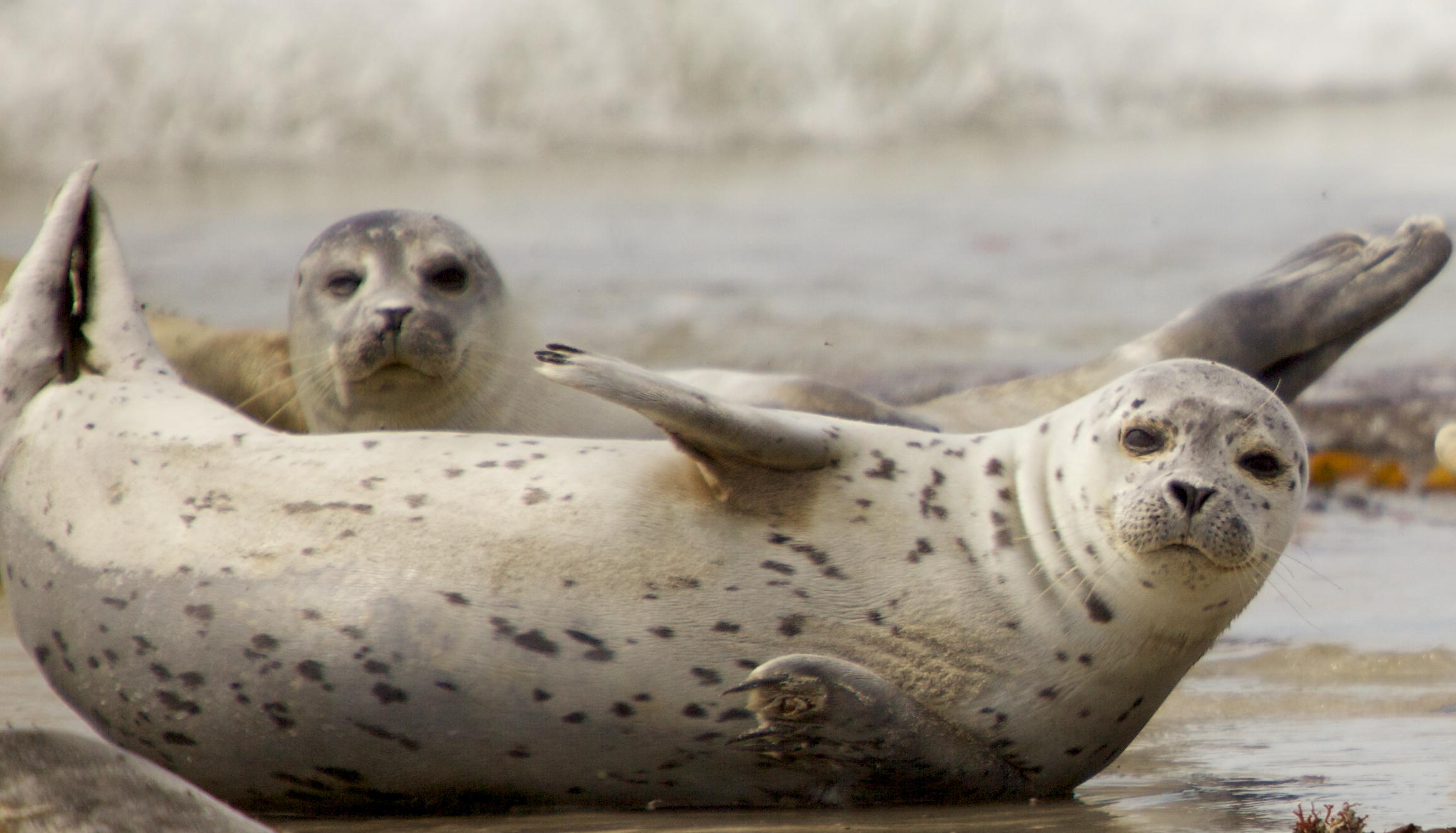 Resultado de imagen para Investigan hallazgo de casi 300 focas muertas en Alaska