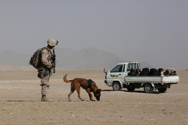 IED explosive detection dogs at work for the U.S. Marines in Afghanistan. USMC / GySgt Bryce Piper. Alaska Dispatch.