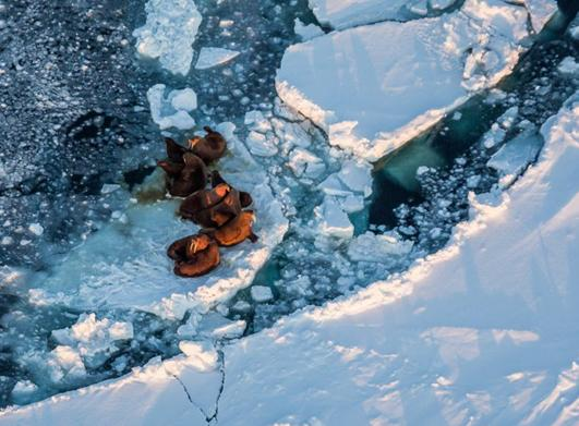 Walrus hauled out on the sea ice near King Island. The island is located in the Bering Sea, an increasingly important arctic shipping route. (Loren Holmes, Alaska Dispatch)
