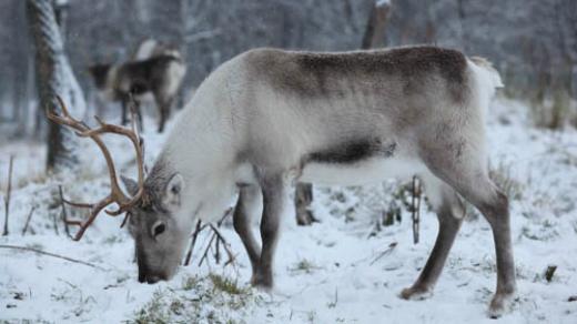One of the reindeer at Tromsö University. Photo: Malin Avenius. sverigesradio.se