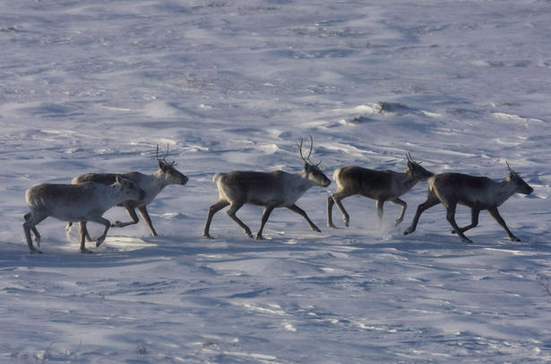 A vast herd of northern caribou that scientists feared had vanished from the face of the Earth has been found, safe and sound - pretty much where aboriginal elders said it would be all along. Photo: Nathan Denette, The Canadian Press.