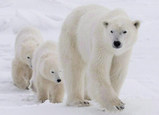 A polar bear mother and her two cubs. Photo: Jonathan Hayward, The Canadian Press.