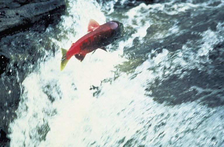 Alaska_salmon