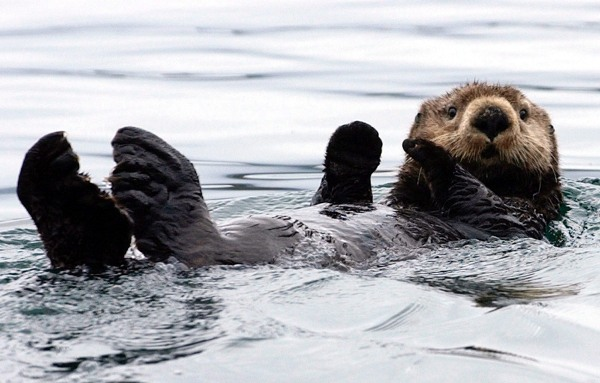 Alaska_sea_otter