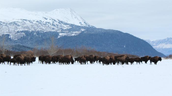 Alaska_wood_bison_herd