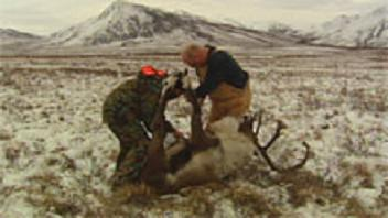Yukon hunters take a caribou along the Dempster Highway in 2009, after restrictions were introduced in an effort to preserve the Porcupine herd. Image CBC.