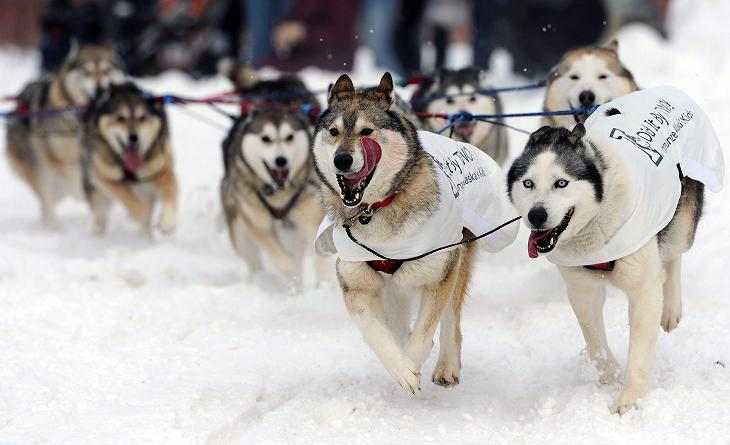 The dog team of Mike Ellis during the ceremonial start of the Iditarod Trail Sled Dog Race on Saturday, March 2, 2013, in Anchorage, Alaska. The competitive portion of the 1,000-mile race is scheduled to began on Sunday in Willow, Alaska. (AP Photo/Anchorage Daily News, Bill Roth)