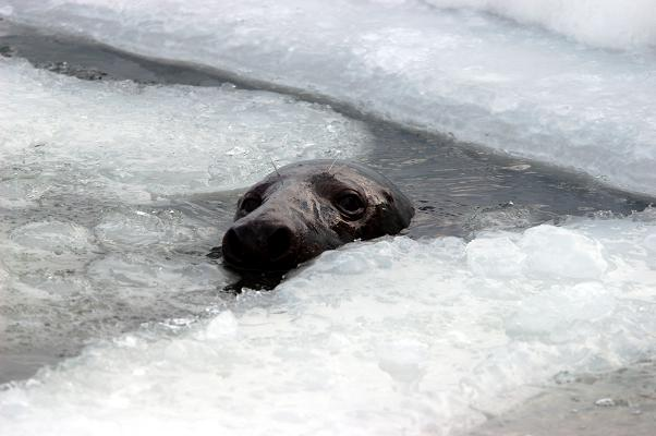The Saimaa ringed seal is heavily dependent on snow and ice during the breeding season. Photo courtesy Finnish Tourist Board