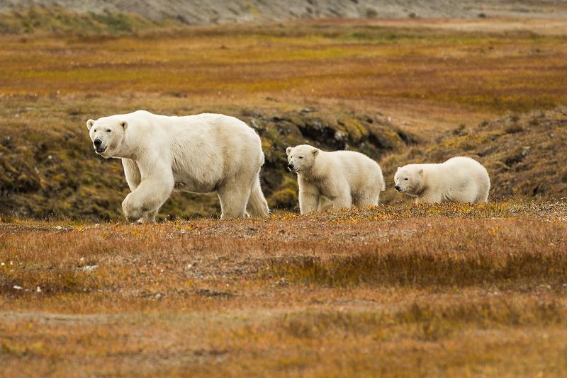 A polar bear mom and her cubs exploring the tundra in Kaktovik. September 7, 2012. Photo: Loren Holmes. Alaska Dispatch.
