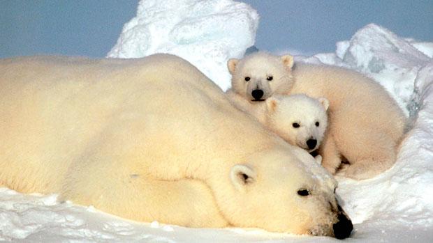 Polar-bears-standard