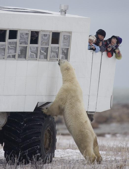 Polar_bear_and_tourists