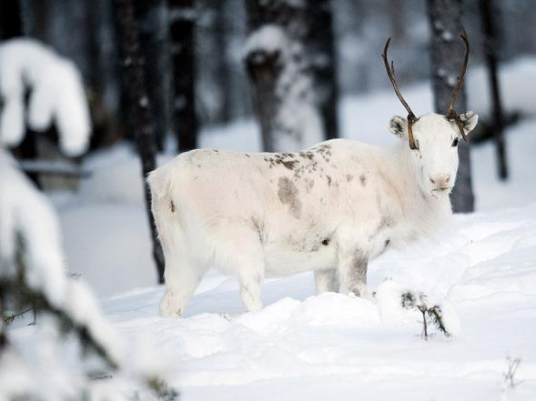 The hunt for a wolf caught attacking reindeer in northern Sweden has been called off. Photo AFP