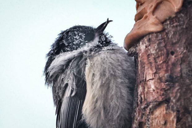 A chickadee with a deformed beak. Photo: Steve Dubois. Alaska Dispatch.