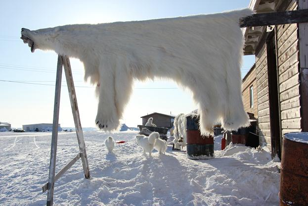 Polar bear skin outside home in Ulukhaktok. Photo: Eilís Quinn, Radio Canada International.