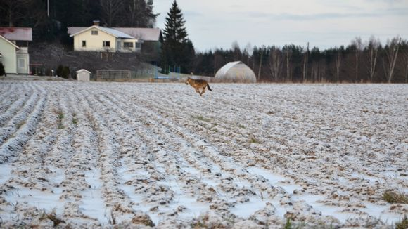 This wolf was spotted in Vartsala. Image: Teemu Nieminen. Yle.fi