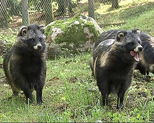 Sweden has a small population of racoon dogs in the north but experts now fear the animal could spread from Denmark to southern Sweden. Photo: Radio Sweden