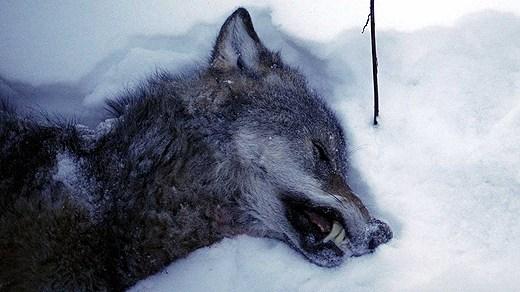 Wolf shot in 2010 near Kristinehamn in Sweden. File photo: Olivier Morin / Scanpix. Radio Sweden.