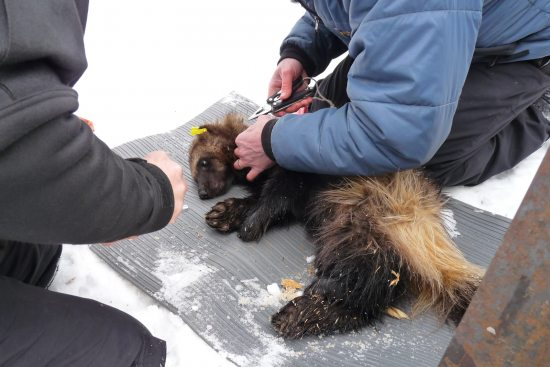 Tracking the elusive and mythical wolverines of alaskas chugach wolverine sciox Choice Image