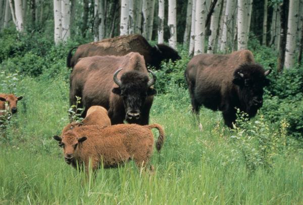 Wood_bison