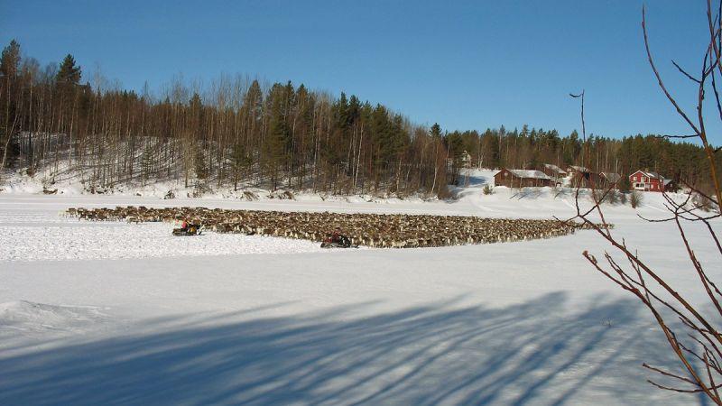 Reindeer herd in northern Sweden. Image: Radio Sweden.