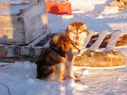 Sled dog waits near komatik at hunting camp near Clyde River, Nunavut. Photo Eilis Quinn