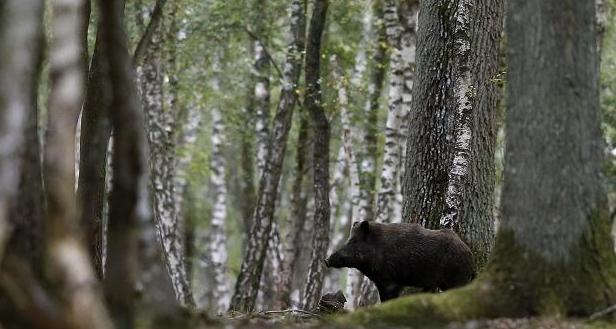 A picture taken on September 12, 2012 shows a wild boar in a forest in Rambouillet, near Paris. The wild boar population in Sweden has increased and can be a hazard on the roads. Photo: KENZO TRIBOUILLARD, AFP