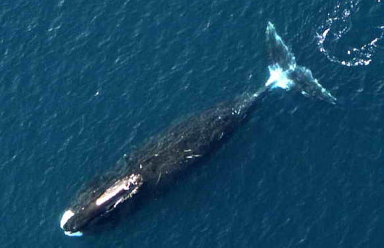 Bowhead whale. Photo: NOAA. Alaska Dispatch.