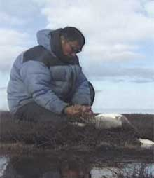 nuit who hunt snow geese from the spring well into the fall say they are worried about the oil spill's possible impact on the birds. (CBC)