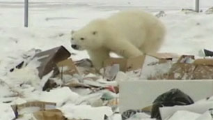 A polar bear rummages through garbage at the dump in Arviat, Nunavut, in November 2009. Residents in Arviat, Rankin Inlet and Whale Cove have reported seeing polar bears near or in their communities in recent days. (CBC)