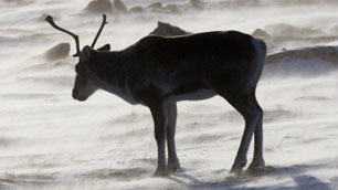 A wild caribou roams the tundra near Baker Lake, Nunavut, in March 2009. A 2008 survey done by the Nunavut government shows the Qamanirjuaq caribou herd has remained stable over the years. (Nathan Denette/Canadian Press)