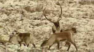 The emergency caribou hunting ban along the Dempster Highway will be eased. (CBC)