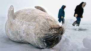 Inuit who hunt seal for food and pelts fear a U.S. proposal to list ringed seals as a threatened species could endanger their livelihoods. (Kevin Frayer/Canadian Press)