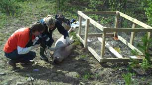 Ontario forensic researchers Katie Bygarski, left, and Helene LeBlanc, studied this pig carcass and others that were left to rot at the Whitehorse dump over the summer. (Dave Croft/CBC)