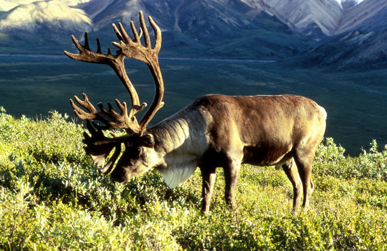 A caribou grazes during the late summer. Photo courtesy U.S. Fish and Wildlife Service