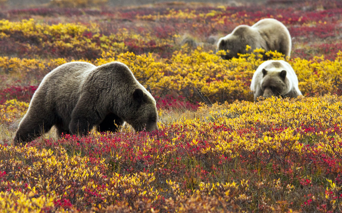 Grizzly bears in blueberries at Denali National Park and Preserve in the Alaska interior. Photo: Jacob W. Frank. Alaska Dispatch.
